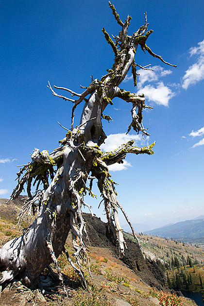 Idaho-Tree