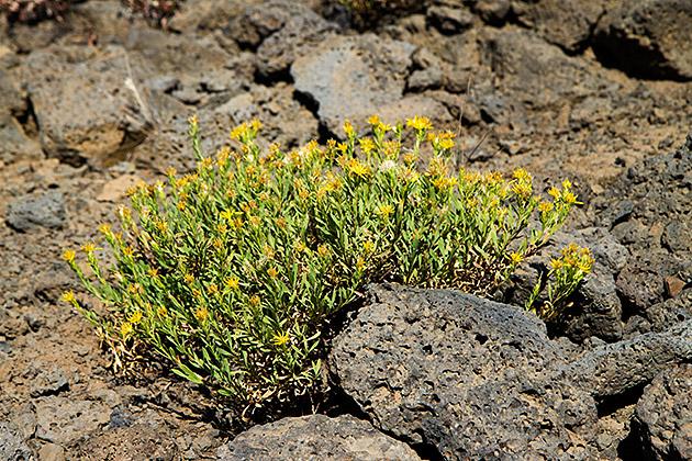 Lava-Flowers