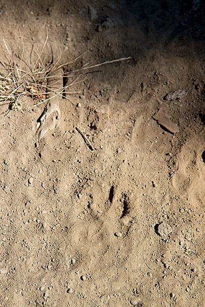Wildlife Foot Print