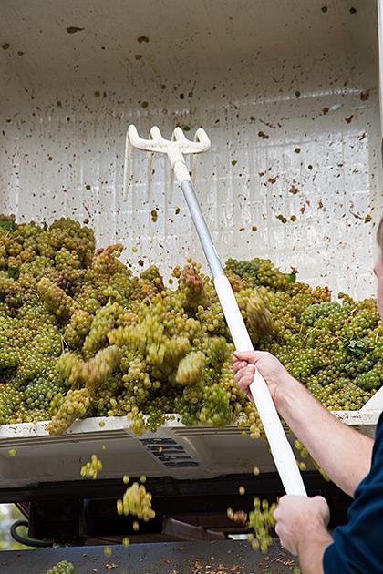 Wein Ernte
