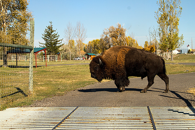 Bear-World-Bison