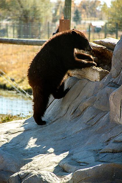Climbing Bear Cub