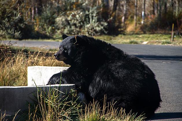 Relaxed-Bear